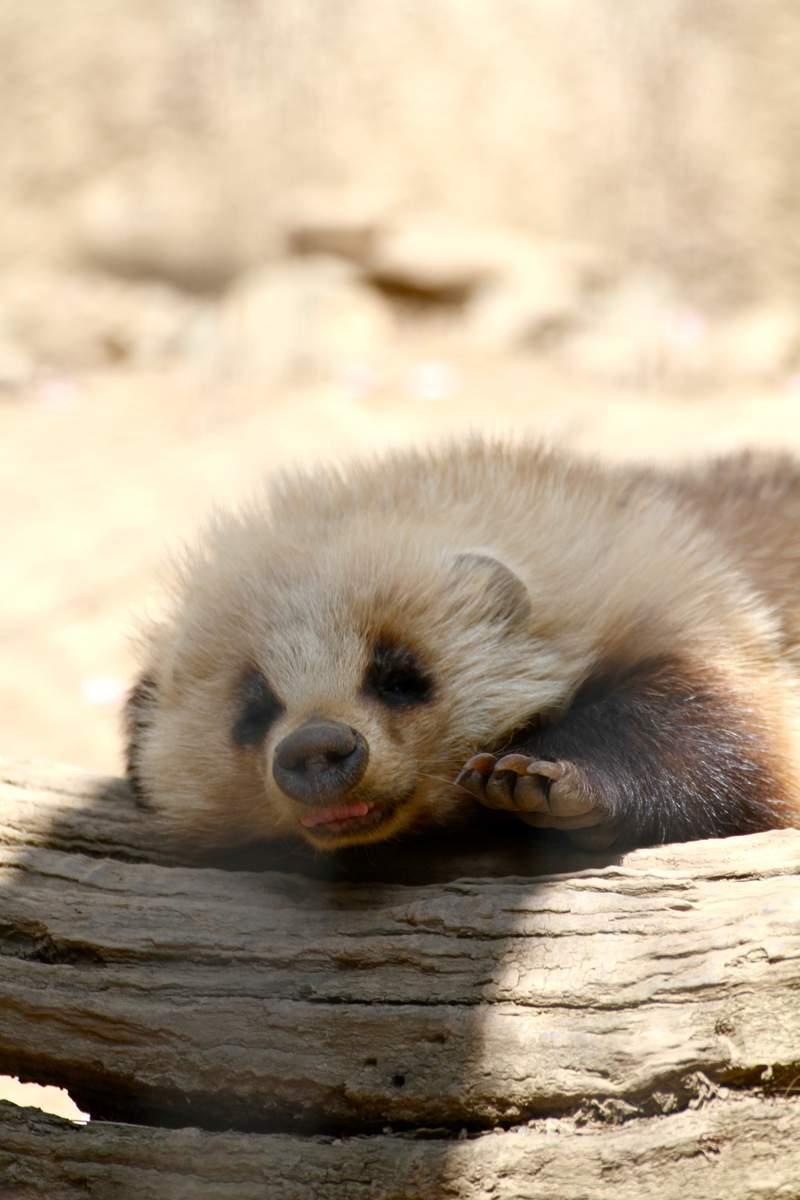 《等待放饭的日本獾》餵食时间还没到就开始对饲育员施压的模样引发疯传