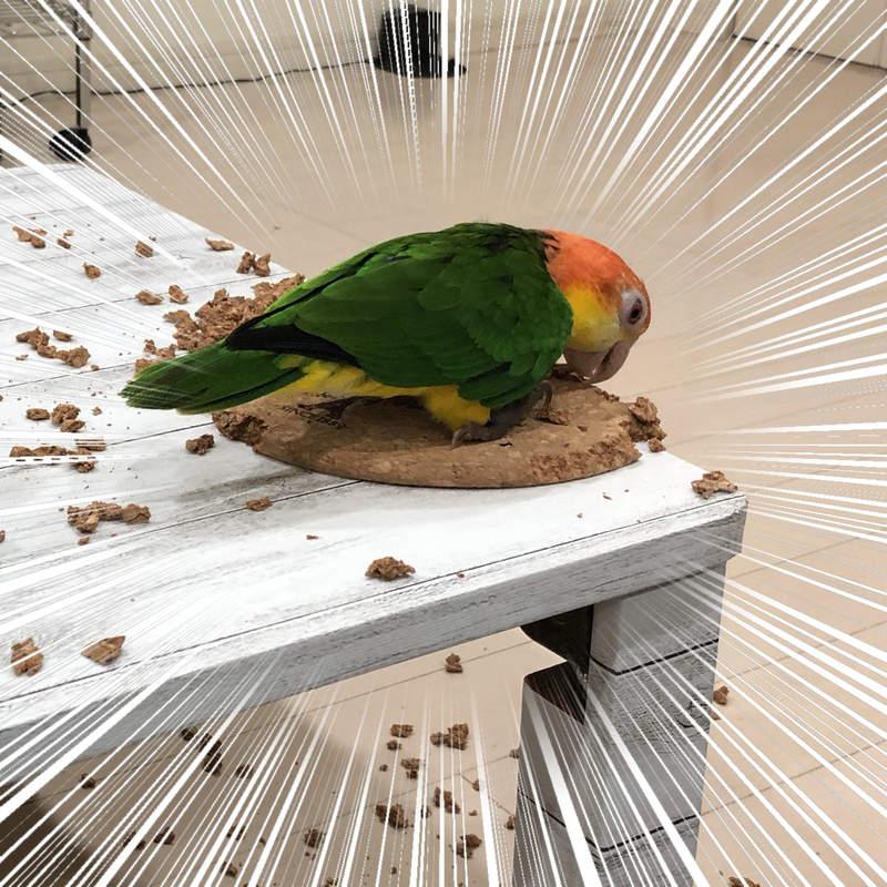 宠物的艺术魂《职人鹦鹉》被咬烂的锅垫最后竟然变成超有型杯垫!?